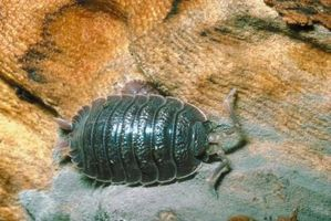 Hvorfor bor isopoder i kompost bunker?