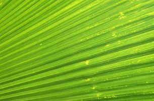 Sådan holder Cut Palm blade grøn