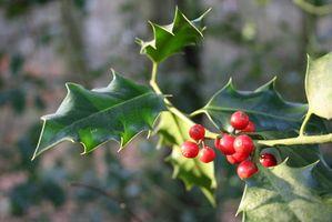 Karakteristik af en Holly træ