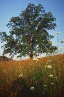 Hvad er brune pletter på Pecan træ blade?
