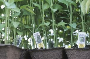 Hvordan til at plante Capsicum