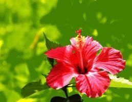 Hvordan til at plante en Hibiscus skyde