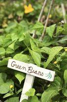 Hvorfor er plettede biller spise min grønne bønner planter?