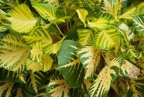 PH niveauer & årsagerne gulfarvning bladene