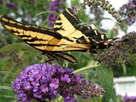 Hvad er fordelene ved sommerfugl haver for miljøet?