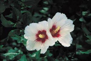 Hvad skyldes min Rose af Sharon blomst ændre fra blå til hvid?