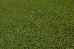Skal græsset skal vandes i solen?
