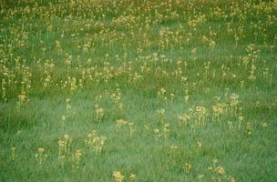 Hvordan man kan identificere små ukrudt med lille blå blomster i græsplæner