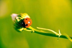 Bugs spise min sommerfugl buske