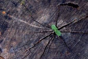 Forholdet mellem ringene på et træ og sin alder
