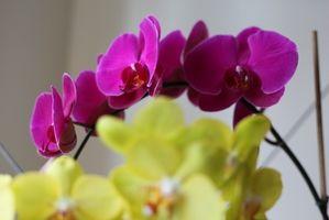 Om voksende orkideer fra frø