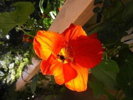 Hvordan man dyrker Nasturtiums fra frø