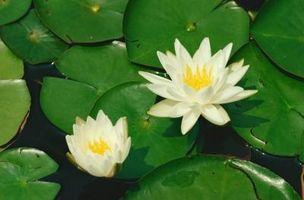Herbicid for lilje puder i en 43-Acre søen