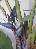 Hvordan du opdeler en kæmpe hvid Bird of Paradise plante