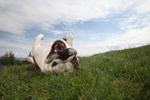 Er der en græsplæne ukrudtsmiddel, der er sikre for hunde?