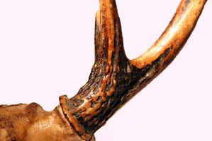 Hvordan til at bore huller i hjorte gevirer for lamper