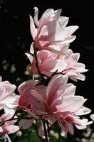 Skadedyr af Magnolia
