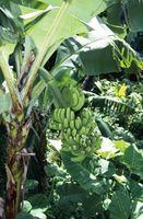 Hvordan man dyrker rodskud fra en banan træ