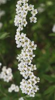 Sådan Beskær Spirrhea & Berberis buske