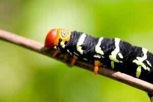 Skadelige insekter på buske