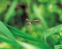 Hvordan man forebygger myg vækst