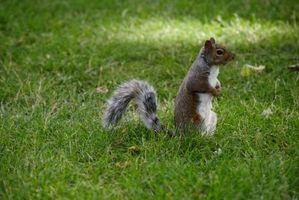 Grøn måde at slippe af med egern