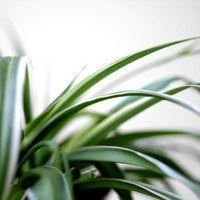 Planter som Spider plante
