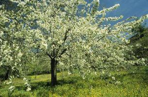 Japansk grædende Cherry Tree bruger