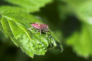 Hvad er røde & sort Bugs på mine planter i Florida?