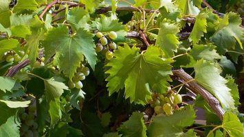 Hvordan man kan udrydde meldug på druer