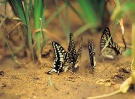 Hvordan man laver en sommerfugl Atrium