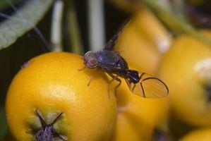 Hvordan man laver en hjemmelavet frugt flue fælde med eddike