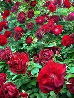 Hvordan man kan opretholde & pleje for en Rose Bush