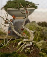 Hvordan til at gøre en døende Bonsai anlæg kommer til livet