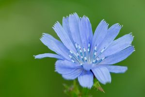 Høje ukrudt med store blå blomster
