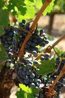 Hvordan beskære en drue vin i North Carolina?