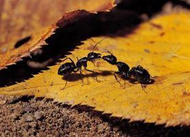 Borsyre som en myre afvisende