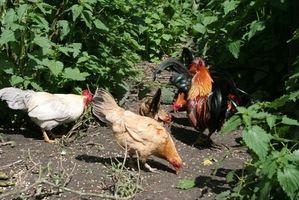 Kan høns bruges til Bug kontrol i haver?