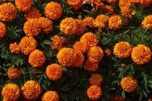 Kan du plante noget til at frastøde insekter?