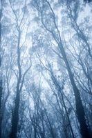 Hurtigt voksende Aussie træer
