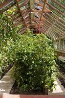Tomatplanter med gule & krøllede blade