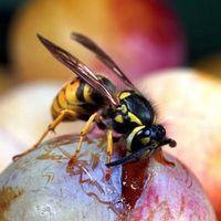 Hvorfor er der så mange hvepse omkring mit hus?