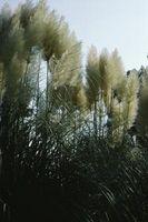 Typer af høje græsser