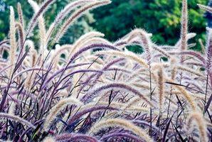 Typer af dekorative græs