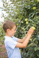 Apple Picking i Cuyahoga, Ohio