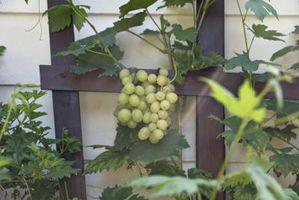 Hvad måned druerne modnes?