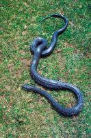 Sådan kontrolleres en Ficus plante for slanger før at bringe det ind i huset