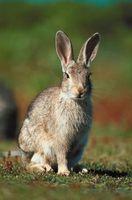 Hvor højt for en kanin hegn?