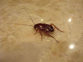 Økologisk måder at dræbe kakerlakker