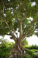 Hvordan til at spire en Ficus Religiosa